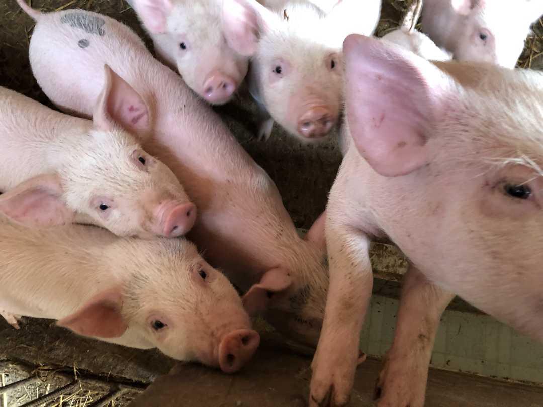 广东一屠宰场屠宰病死猪流入市场 涉案人已被抓