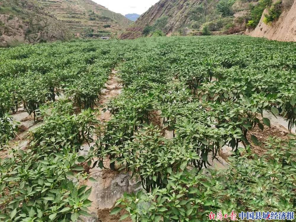郭河乡辣椒种植基地