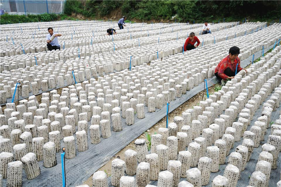 甘肃宕昌:黑木耳产业促农增收