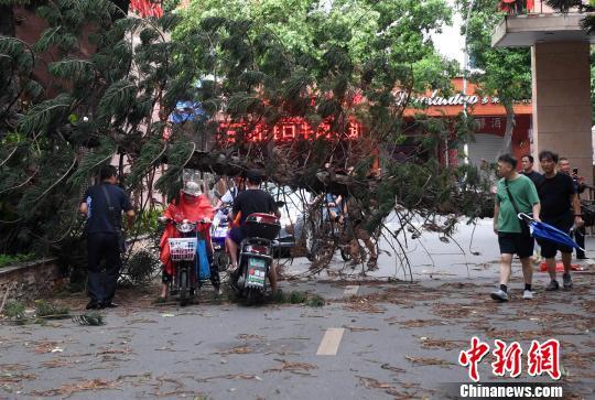 """福州市区一社区门前一棵大树被台风""""玛莉亚""""刮断。 记者刘可耕 摄"""
